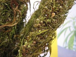 Dried Hemp